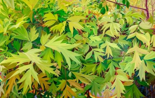 Peony Tree, 2019, oil on canvas